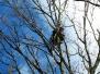 Usuwanie gniazd ptaków na 42 topolach, miejscowe prześwietlenia koron